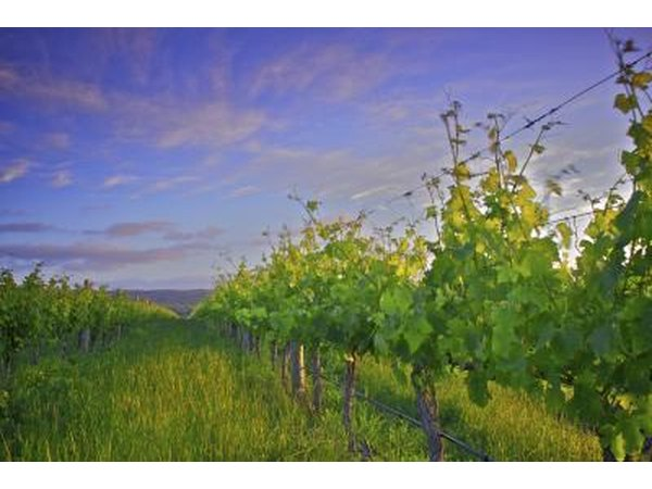 Vineyard in McLaren Vale region, South Australia