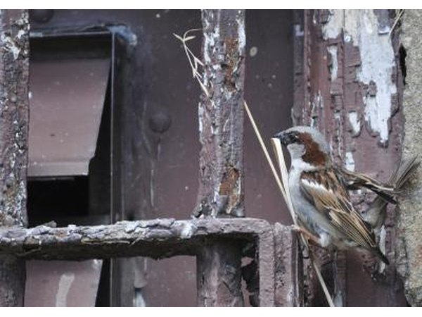 A city sparrow begins to build a nest.
