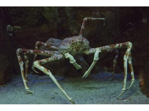 the claws of the Japanese Spider Crab can grow to 12 feet long