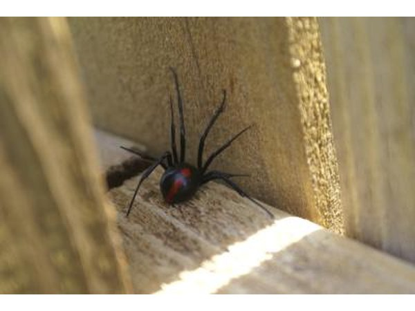 Black widow spider on wood
