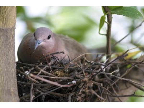 A mourning dove sits in her nest in a lime tree.
