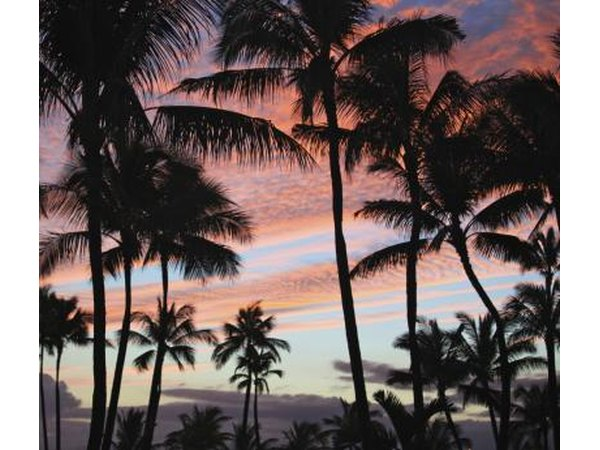 Coconut trees against a Hawaiian sunset