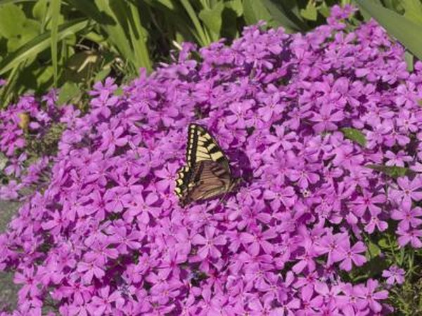 A butterfly sips nectar on creeping phlox in the sunshine.