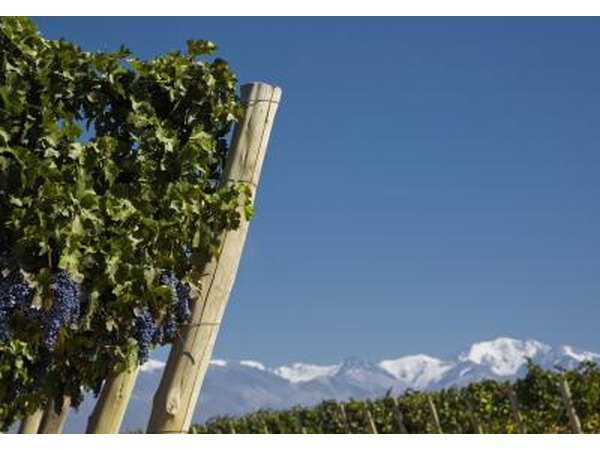 Grape crop and Andean snow capped mountains in Mendoza, Argentina