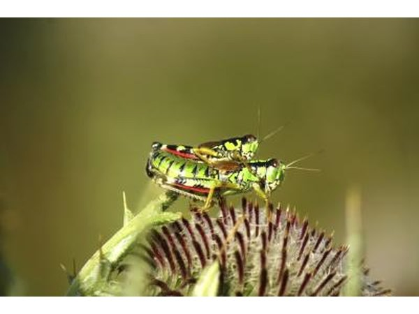 Spotted grasshoppers.