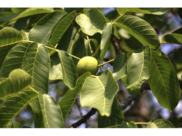 A walnut tree producing green fruit in the sunshine.