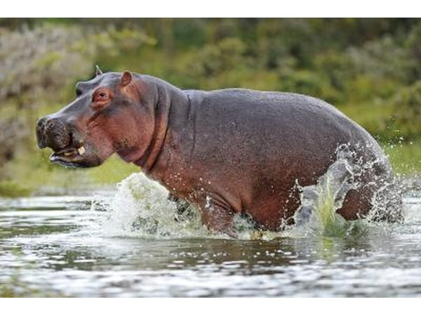 Hippopotamuses are closely related to whales.