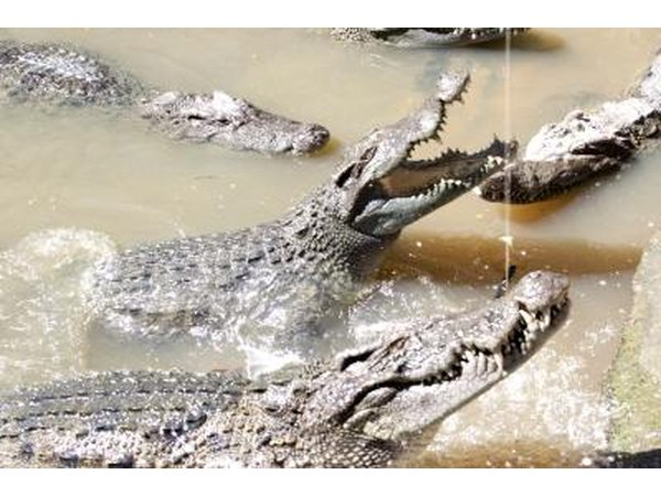 saltwater crocodiles in water