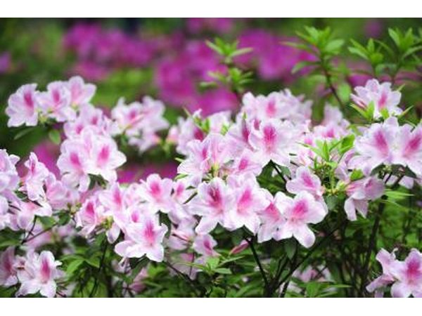 azaleas can benefit from pine needle mulch as well