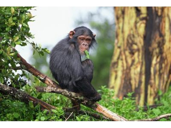 chimpanzees eat the plants of their native habitat