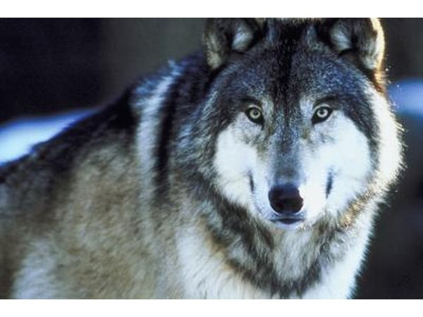 Gray wolves may be found in Minnesota.