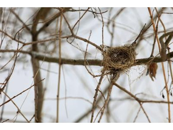 An empty bird nest in the vines.