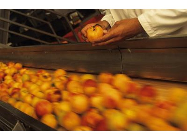 Checking peaches on a conveyor belt for quality standards