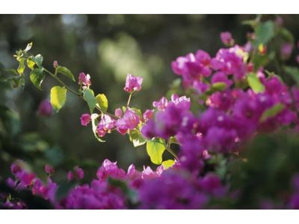 Tropical bougainvillea plants produce masses of brilliant blooms.