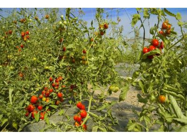 tomato plants in field