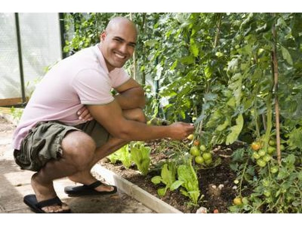 man with young tomatoe plant