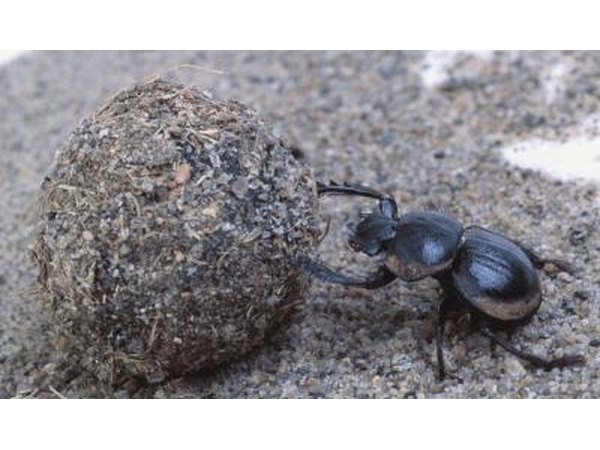 India has a high population of Dermestes beetles.