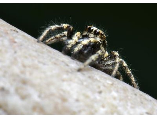 zebra spiders don't spin webs