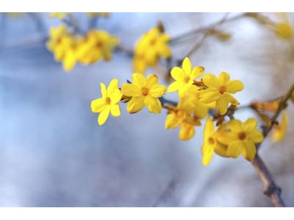 The branch of a winter jasmine shrub.