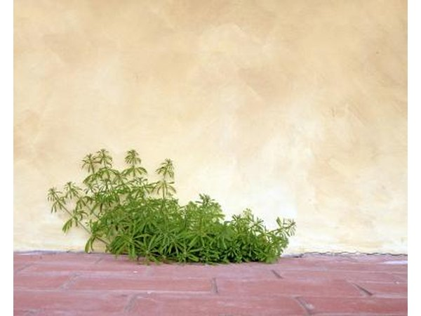 Goosegrass growing through a crack between a brick patio and a stucco wall.