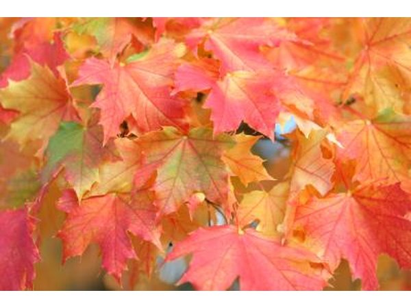 A close-up of sugar maple leaves changing color in the fall.