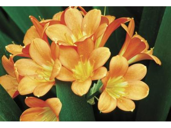 Clivias produce orange or red flowers.