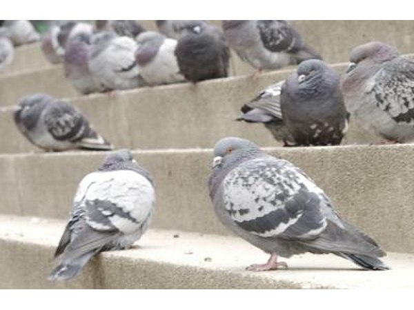 Group of pigeons.