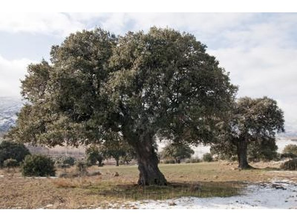 A live oak tree during the winter season.