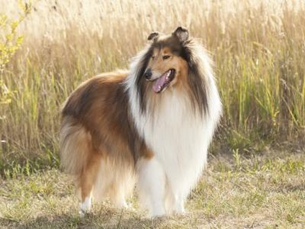 Collies should not be treated with ivermectin.