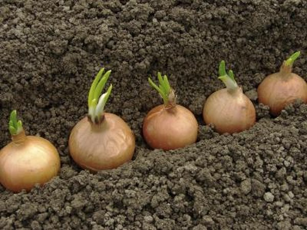 Plant vegetables that like to sprawl out, including onions, cucumbers and yellow squash in a separate garden