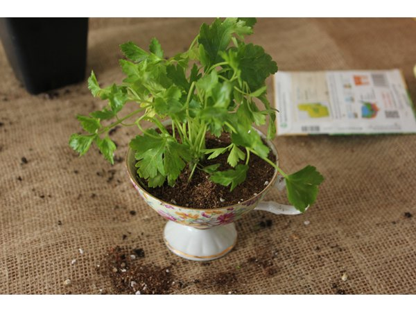 Herb planted in the teacup