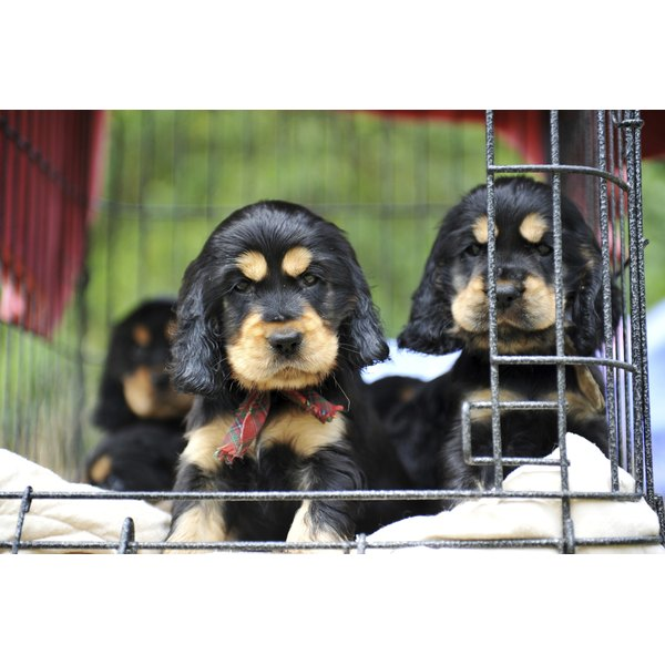 puppies cockers spaniel