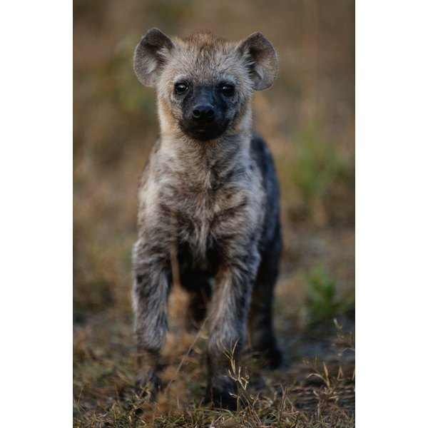 Spotted hyena (Crocuta crocuta) standing and watching, close up, Masai Mara N.R, Kenya