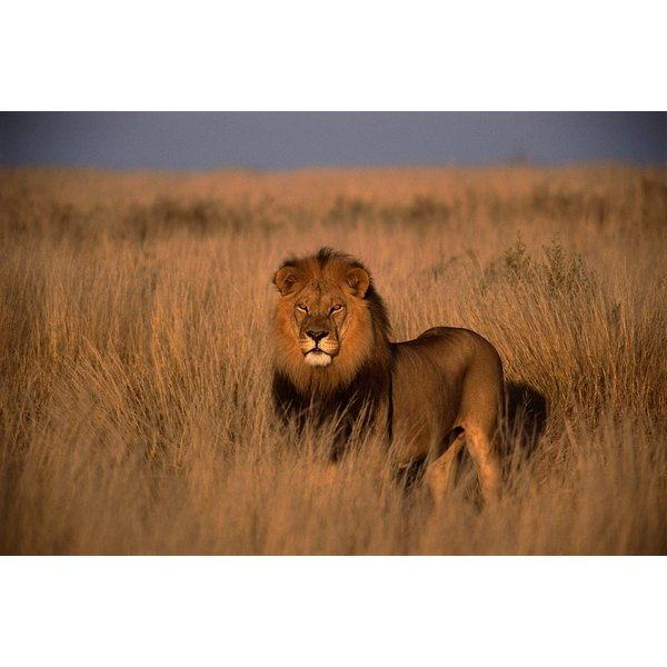 Lion (Panthera leo), adult male, standing on savanna