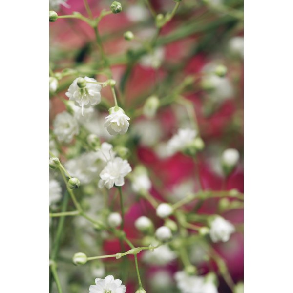 Extreme close-up of baby's breath flowers, with pink flowers in background