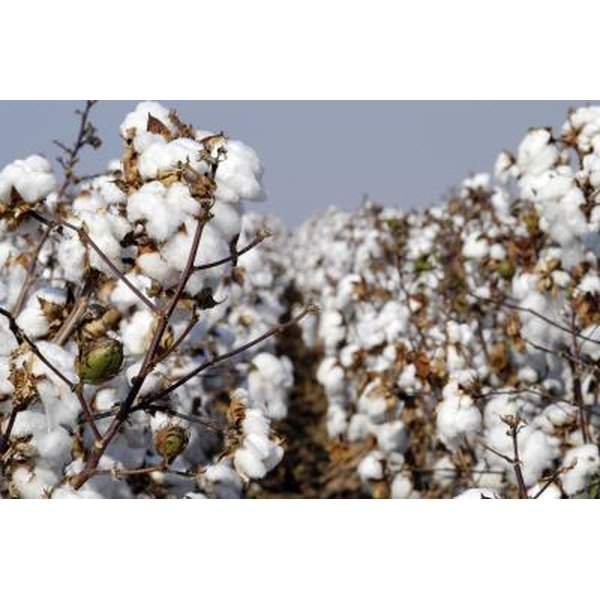 Cotton is a natural fiber used in the textile industry.