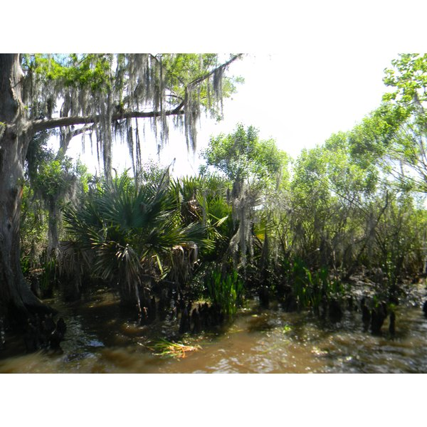 Picture of swamp water with palmetto and cypress trees.