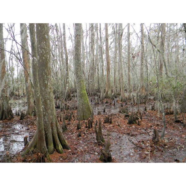 Cypress knees reach for the sky in a Louisiana swamp.