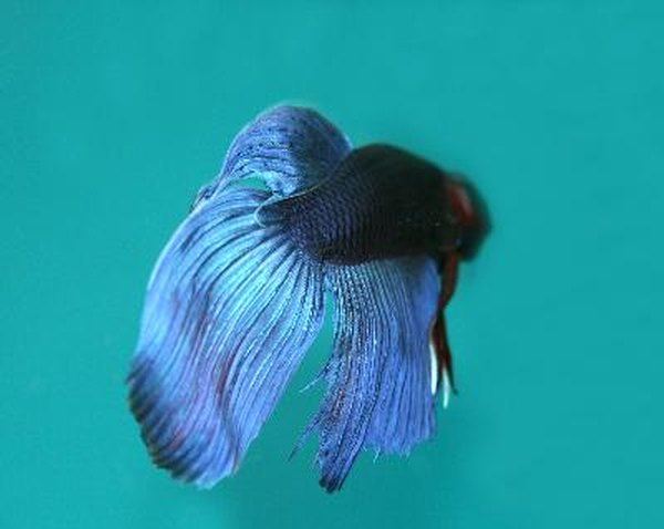 Description of a male vs female betta animals for Fish and tails