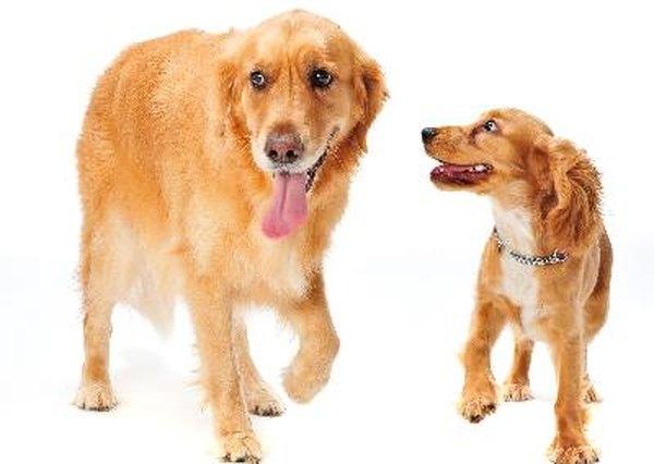 New Puppy Aggressive Older Dog