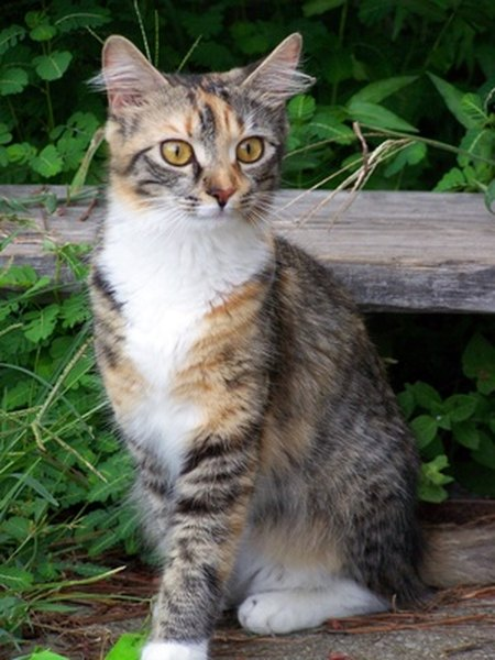 Gray Calico Cat For Sale