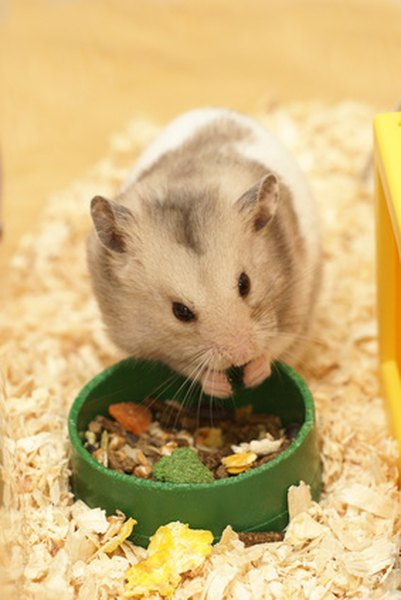 Hamster Eating Cat Food