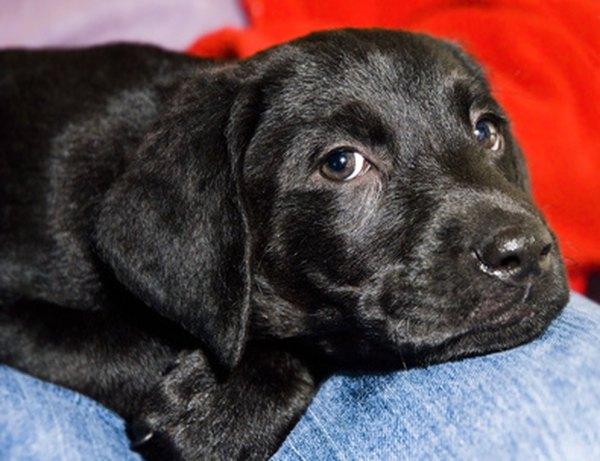 Black Lab Puppy Information