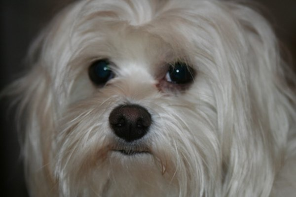 Yeast Infection In Eyes Of Dog