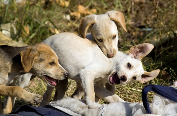 Puppies naturally play rough, and it's rarely real aggression.