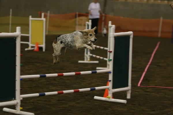 Dog agility courses can be a fun way to exercise.