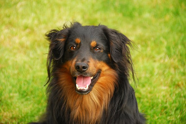 The Australian Shepherd is an intensely loyal, hard-working dog.