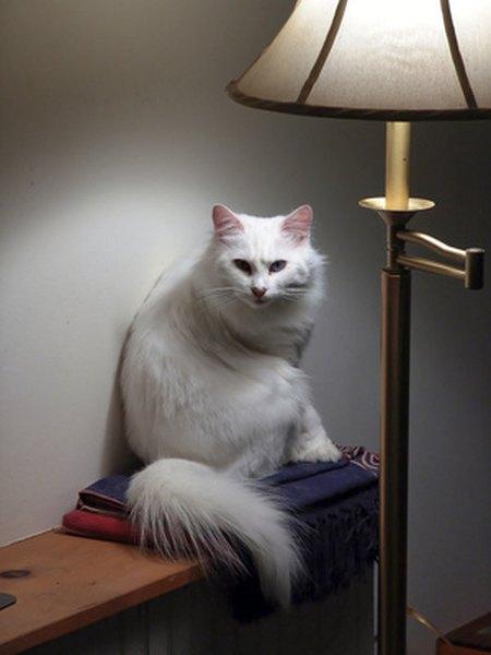 Angora cat association