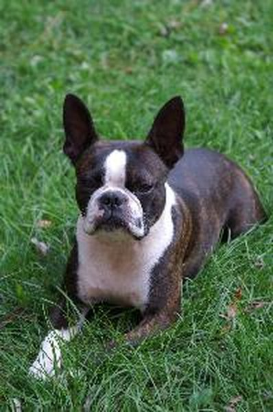 How To Minimize Hair Shedding On Boston Terrier Dogs Pets