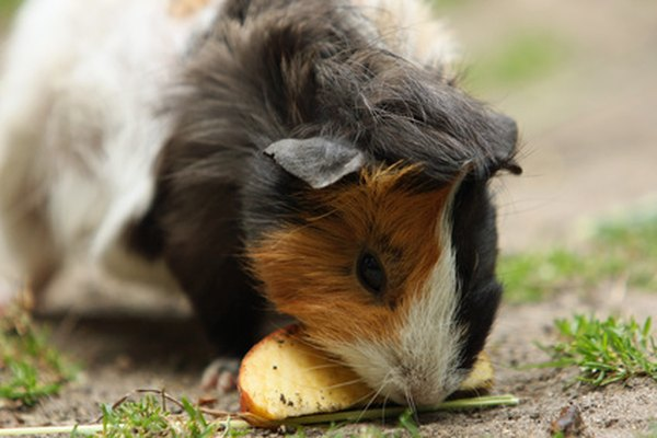 Foods That Are High In Vitamin C For Guinea Pigs